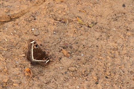 moth: Cream Striped Owl Moth Stock Photo