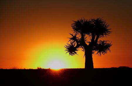 Silhouetted quiver tree sunset in Namaqualand Northern Cape South Africa