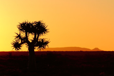 Tree silhouette sunset with quiver tree Namaqualand Northern Cape South Africa