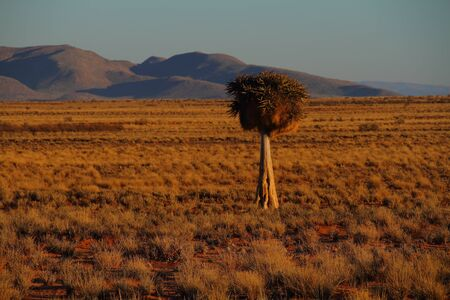sociable: Quiver tree with sociable weavers nest landscape Namaqualand Northern Cape South Africa