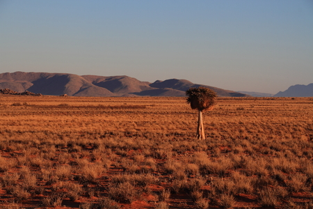 sociable: Landscape with quiver tree and sociable weavers nest Northern Cape South Africa