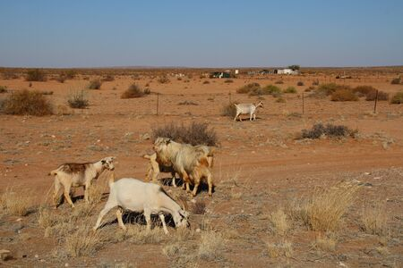 subsistence: Domestic goats on a small scale farm