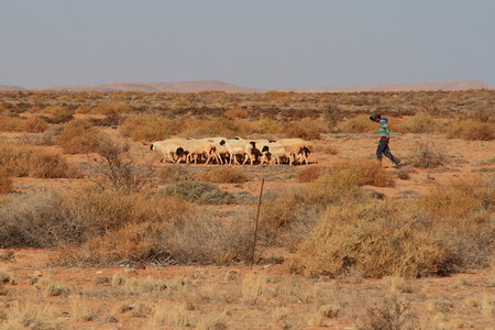 herdsman: Herdsman with sheep in a dry landscape Stock Photo