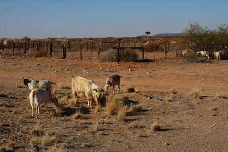 subsistence: Farm goats at a subsistence farm