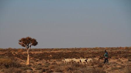 herdsman: Herdsman and sheep in dry Namaqualand landscape
