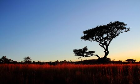gauteng: A tree silhoetted at sunrise on the Gauteng Highveld South-Africa