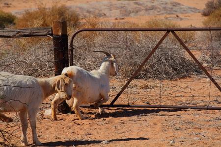 A farm goat escapes through a wire fence