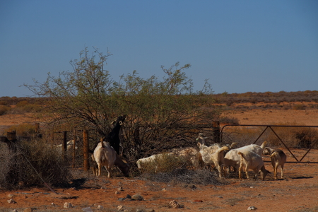 thorn bush: Domestic farm goats pluck green leaves from a thorn bush in a dry land