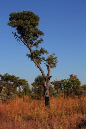 gauteng: Broad-leaved woodland habitat Gauteng Highveld South Africa Stock Photo