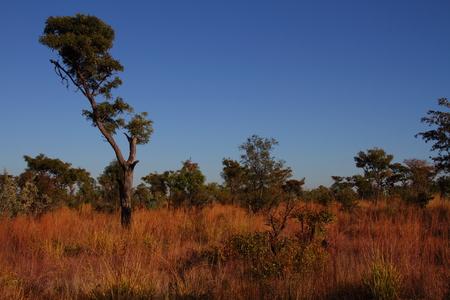 gauteng: Broad-leaved woodland habitat - Gauteng Highveld South Africa