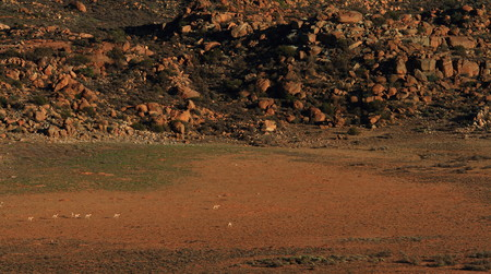 springbok: Springbok on a dry pan in the Nama Karoo Northern Cape Province South Africa