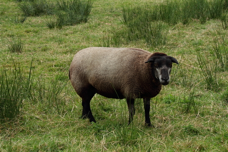 oddball: A black sheep on green grass