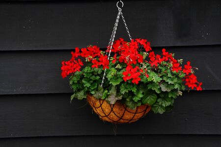 hanging basket: Red flowers in a hanging basket against a dark timber wall