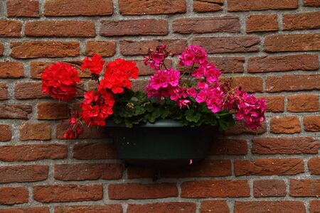 hanging basket: Red and pink flowers in a hanging basket against a brick wall