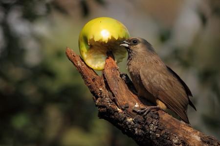 speckle: Wild bird eating fruit
