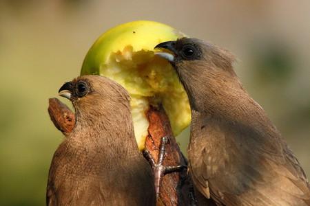 birding: Birds eating an apple Stock Photo