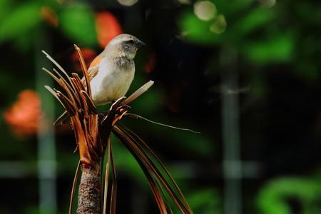 birding: A female sparrow on a dead shrub Stock Photo