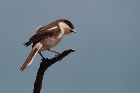 birding: A shrike on a perch