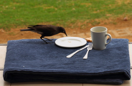 A bird scavenging from the breakfast table