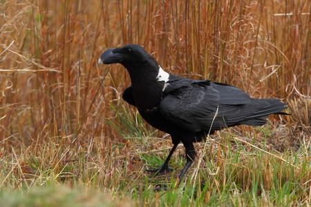 corvus: White-necked Raven - Corvus albicollis