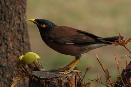 scavenger: Common Myna - Acridotheres tristis Stock Photo