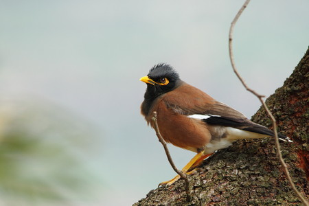 invader: Common Myna - Acridotheres tristis Stock Photo