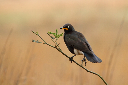 scavenger: Pied Starling - Bird perched on a stick