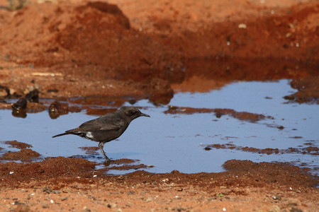 wasteland: A bird sitting next to a puddle of water in a dry wasteland Stock Photo