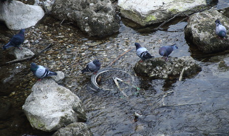 submerged: Feral pigeons look at a bicycle submerged in a stream
