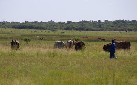 herdsman: A herdsman and his cattle in rural South Africa Stock Photo