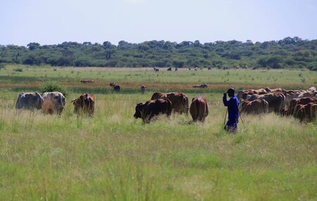 Subsistence farming in South Africa - a herdsman and his cattle in rural South Africa
