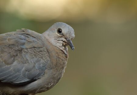 Portrait of a young dove with a clear green background in landscape format Stock Photo