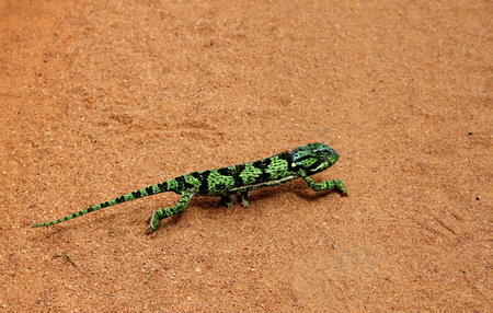 risky behavior: A bright green chameleon crossing a dusty road in Mozambique Africa - getting your color scheme wrong
