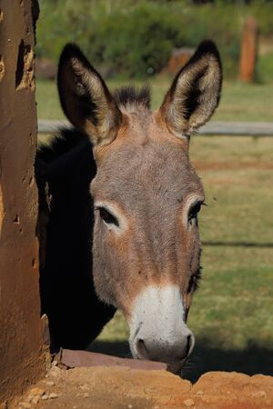 A small grey donkey peeks through the window of an old broken down stable