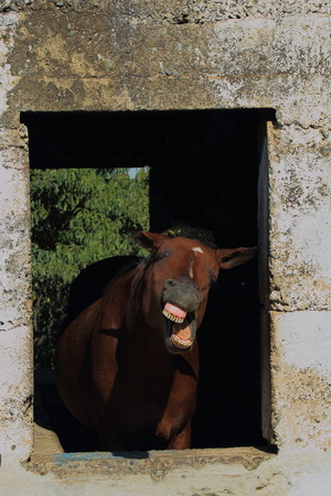 Animal behavior - a horse framed in the window of an old and abandoned stable bares its teeth at the world portrait format Stock Photo