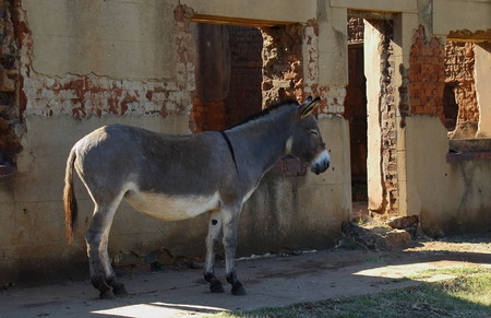 house donkey: A small grey donkey rests in the shade od a dilapidated run down old house landscape format
