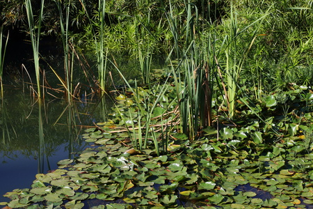 Lily plants float on the water in a small garden pond