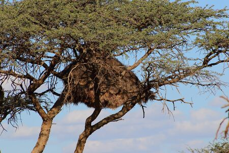 A sociable weaver nest in a thorn tree in Africa