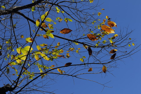 Orange and yellow autumn leaves against a clear blue sky