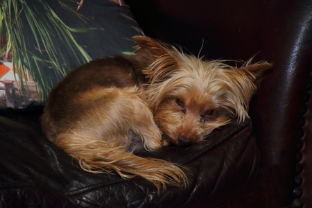 gratified: Small dog sleeps on a leather couch