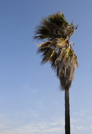 find fault: Tall tree with its branches and leaves being blown about by a strong wind in portrait format against a clear blue sky with copy space