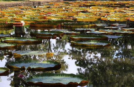 Giant water lilies at the Sir Seewoosagur Ramgoolan Botanical Garden in Pamplemousses in Mauritius