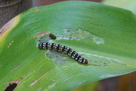Black and yellow caterpillar busy devouring a green leaf in the garden in landscape format with copy space