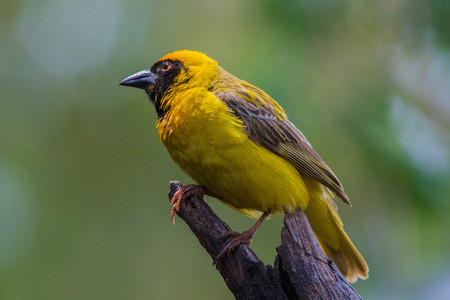 Yellow bird with a black face and bill perched on a stick against an out of focus background, image in landscape format with copy space