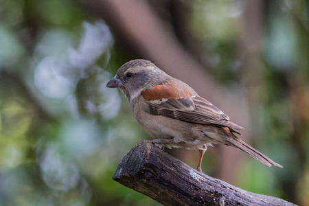 Small rufous colored bird perched on a stick against an out of focus background, image in landscape format with copy space