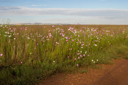 Rural African landscape of the Gauteng Province of South Africa with cosmos flowers a muddy dirt road and a blue sky image with copy space in landscape format