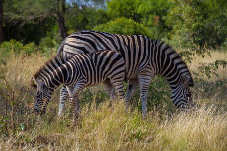 Burchells Zebra and its foal in the African bush image in landscape format
