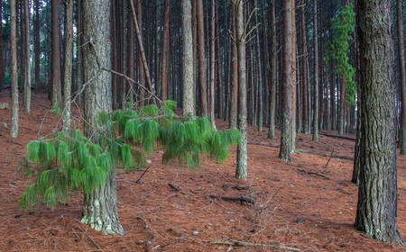 Pine trees in a forest image for background use with copy space in landscape format