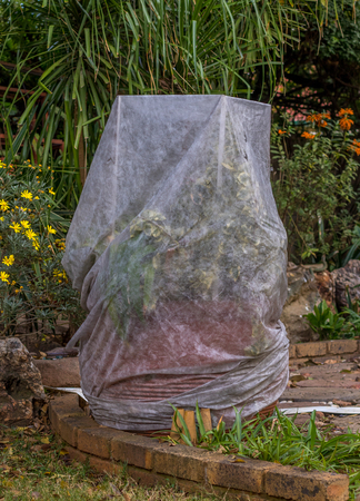 Weather sensitive garden plants are covered with fabric as protection against severe winter frost on the Highveld of Gauteng province in South Africa image with copy space in portrait format Standard-Bild