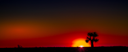 Quiver tree silhouetted against a setting sun in the Namaqualand natural region in the Northern Cape province of South Africa image with copy space in landscape format